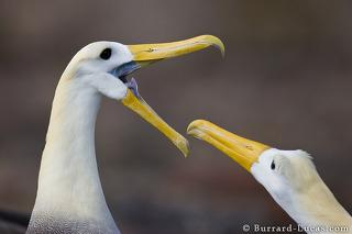 Waved Albatross Pair