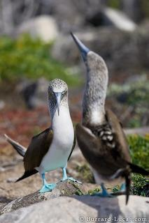 Booby Courtship Dance