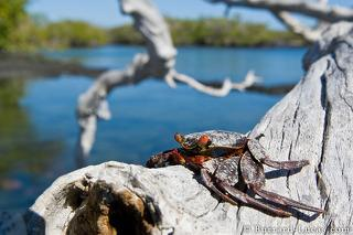 Crab in Tree