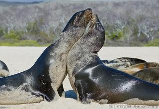 Fighting Sea Lions